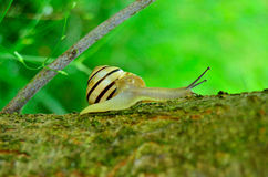 Snail på en tree Royaltyfri Bild