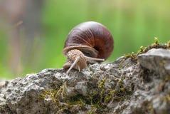 Snail på en vägg Royaltyfria Foton