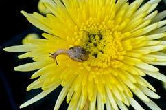 Snail på gul chrysanthemum arkivbilder