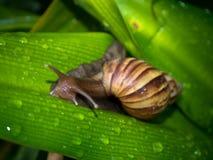 Snail på leafen arkivbilder