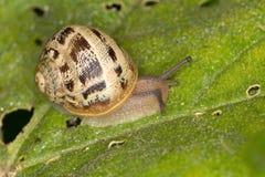 Snail på leafen royaltyfri fotografi