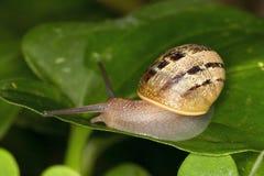 Snail på leafen arkivfoton