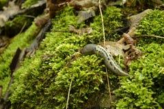 Snail på moss Arkivfoton