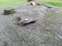 Snail på stenen arkivfoto