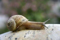 Snail på stenen Royaltyfri Fotografi