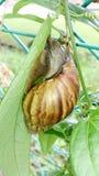 Snail på en leaf Arkivbild