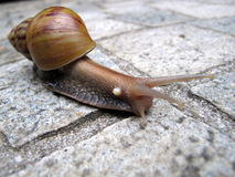 Snail on Pavement. Close up of a snail crawling on the pavement Stock Photos
