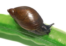 Snail on a pea pod isolated closeup Stock Photography