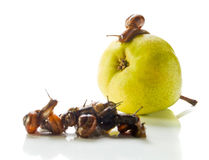 The snail on a pear addresses to crowd. White reflective background Stock Image