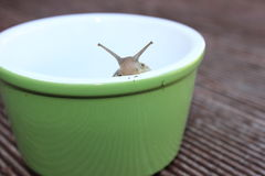 Snail peeking over edge. A snail peeking over the edge of small green bowl placed on decking Stock Photos