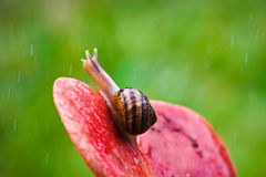 Snail Peeking At Rain. A Snail crawling on a flower in the rain Stock Image