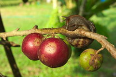 Snail perched on the Batoko plum tree. Royalty Free Stock Images