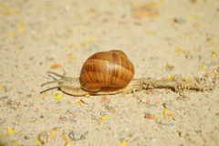 Snail Royalty Free Stock Images
