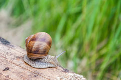 Snail on a piece of wood Stock Photos