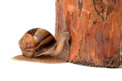 Snail and pine tree Stock Photo