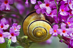 Snail on pink butterfly bush Stock Image