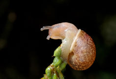 Snail on plant. Snail close-up, with elongated antennae and eyes Royalty Free Stock Photography
