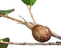 Snail on plant Royalty Free Stock Photos