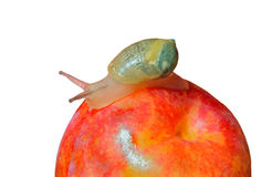 Snail on plum 3 Royalty Free Stock Images