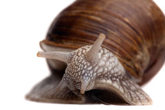 Snail portrait closeup Royalty Free Stock Photos