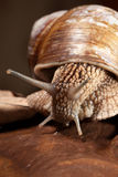 Snail portrait Royalty Free Stock Images