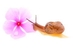 Snail with a purple flower Stock Photo