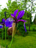 Snail on a Purple Iris. Flower. Close-up stock photography