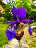 Snail on a Purple Iris Stock Image