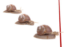 Snail race. Three snails racing towards red finish line Stock Photography