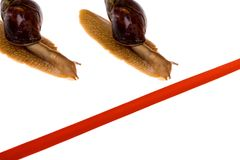 Snail race. Two snail race crawl towards red line Royalty Free Stock Photos