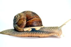 Snail of the race of the big  gris. Royalty Free Stock Image