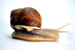 Snail of the race of the big gris. Snail of the race of the big  gris sur white Stock Photography