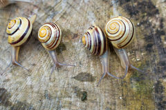 Snail- racing Royalty Free Stock Image