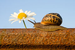 Snail on the rail and flower. Snail On The rusty Rail And daisy Flower Royalty Free Stock Photos