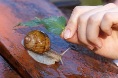 Snail in the rain. A hand offering shelter from the rain with a leaf to a snail Royalty Free Stock Photography