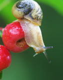 Snail Royalty Free Stock Photography