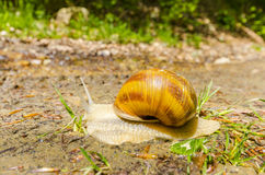 Snail after rain Royalty Free Stock Image