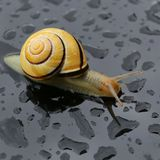 Snail after the rain Royalty Free Stock Photo