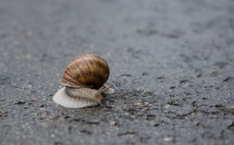 Snail on a rainy day. A large snail on a rainy day Royalty Free Stock Photo