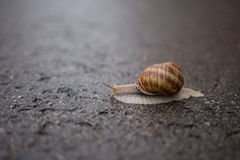 Snail on a rainy day. A large snail on a rainy day Royalty Free Stock Photos