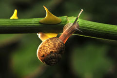 Snail. The rainy season snails everywhere the backlighting is very beautiful Royalty Free Stock Photo