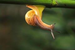 Snail. The rainy season snails everywhere the backlighting is very beautiful Stock Photos