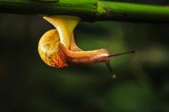 Snail. The rainy season snails everywhere the backlighting is very beautiful Stock Image