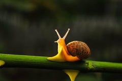 Snail. The rainy season snails everywhere the backlighting is very beautiful Royalty Free Stock Image