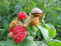 Snail on raspberries. Summer garden Stock Photos