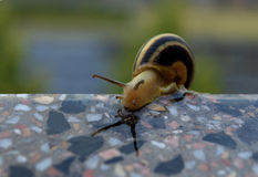 A snail reaching over the edge of wall Stock Photos