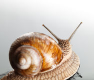 Snail rear view Stock Images