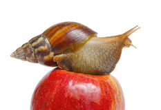 Snail on red apple. Isolated on white background Royalty Free Stock Image