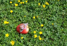 Snail on the red apple Stock Photos