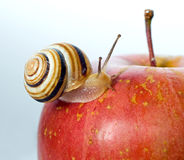 Snail on a red apple Royalty Free Stock Photos